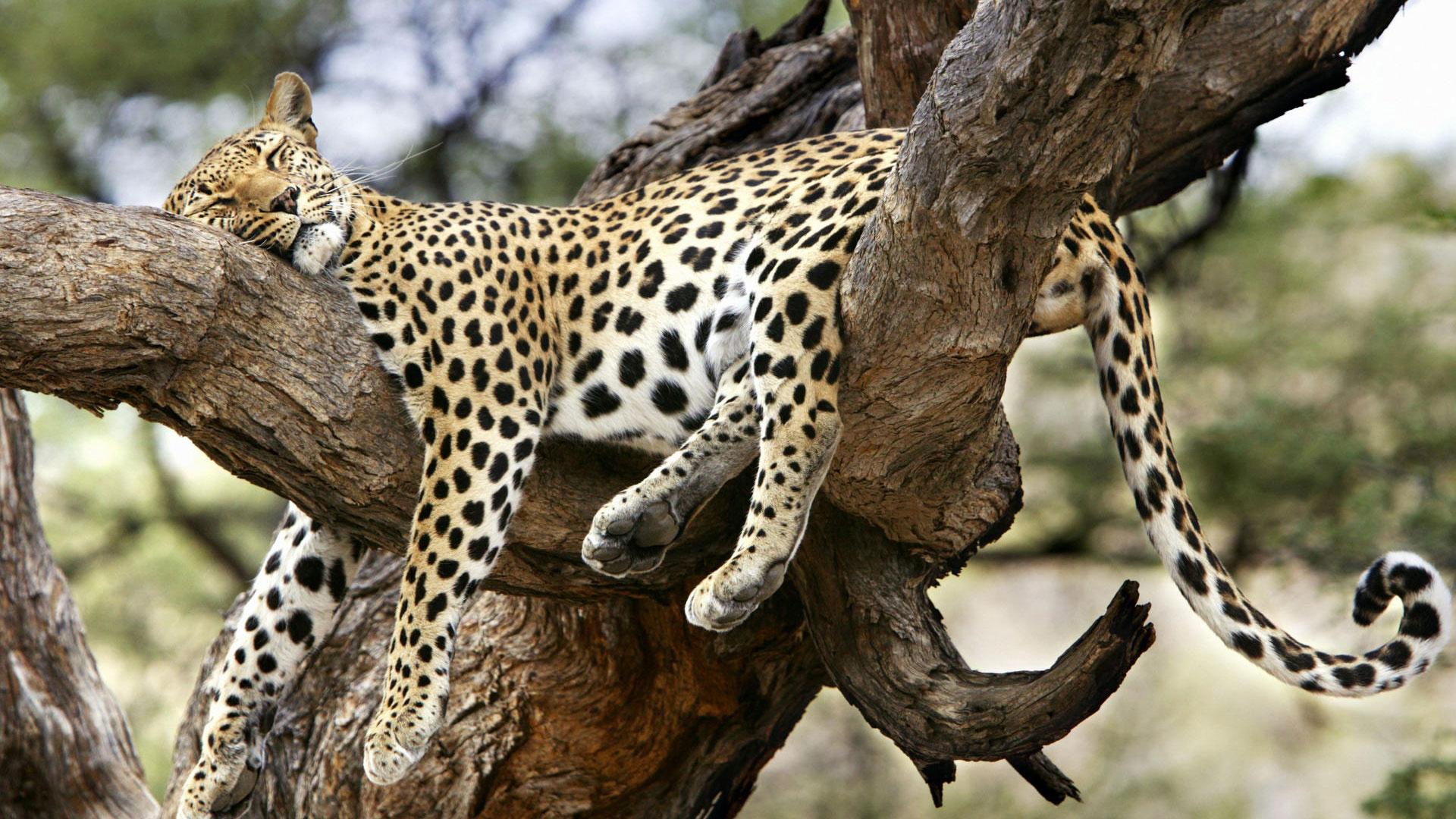 Обои Вода, леопард, дерево, цветы. Разное foto 11