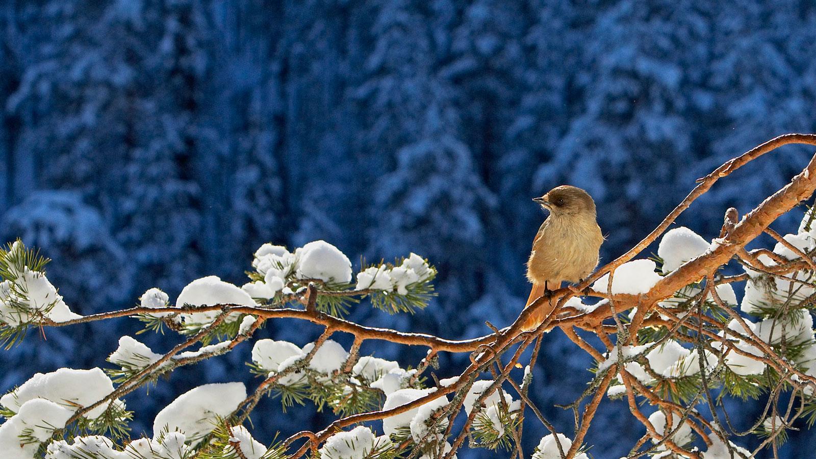 Обои Зима Птицы На Рабочий Стол Бесплатно